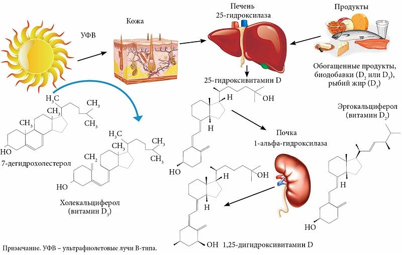 Синтез витамина Д