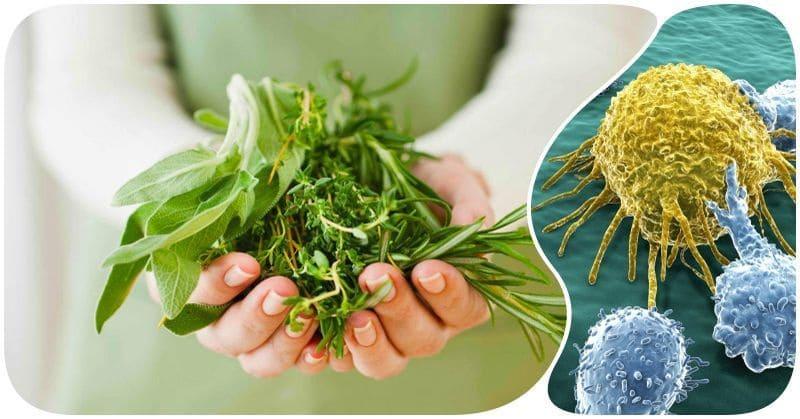 Фитотерапия. Лекарственные растения против рака.