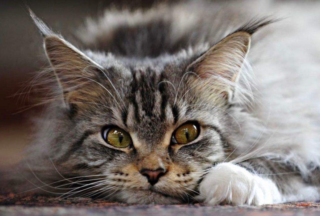 красивый грустный кот