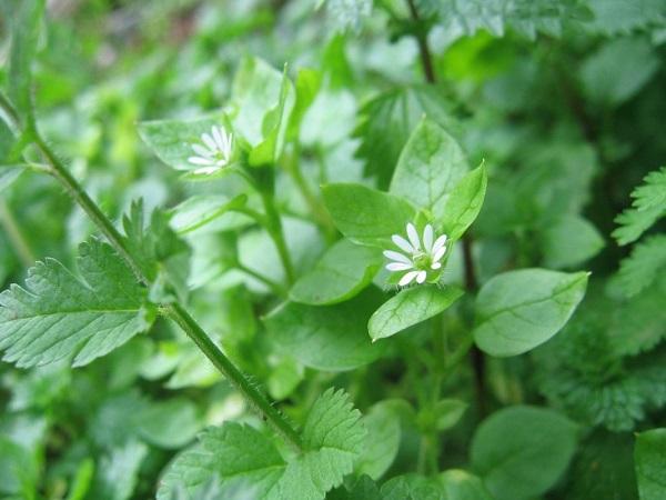 Мокрица - лечебная трава - рецепт