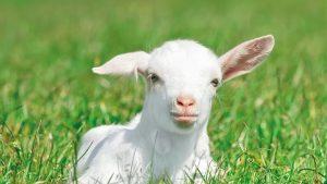 молочко козы